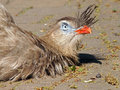 Red legged seriema lying on the ground enjoying the sun Royalty Free Stock Photography