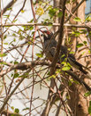 Red legged thrush in the thicket a turdus plumbeus hides of vegetation cuba Stock Photography