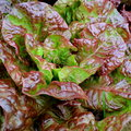 Red lettuce fresh lactuca sativa close up Stock Images