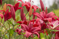 Red lilies floral background of Stock Photography