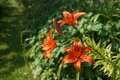 Red Lilies With Nature Backgro...