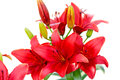 Red lilies on white background Royalty Free Stock Photo
