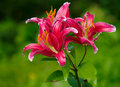 Red lily Royalty Free Stock Images