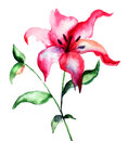 Red lily flower watercolor illustration Royalty Free Stock Photography