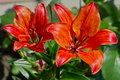 Red lily flowers in the garden. Royalty Free Stock Photo