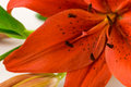 Red Lily Macro Royalty Free Stock Photo