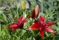 Red Lily Royalty Free Stock Photo