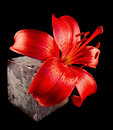 Red lily with stone to black reason Stock Image