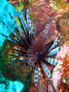 Red Lion Fish Stock Photos