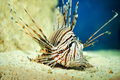 Red lionfish Stock Images