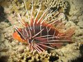 Red lionfish on coral reef Royalty Free Stock Image