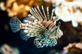 Red lionfish (lat. Pterois volitans) Royalty Free Stock Images