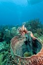Red lionfish (Pterois volitans) Stock Image