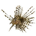Red lionfish - Pterois volitans Stock Photo