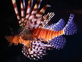 Red lionfishes illuminated low angle shot of two drifting in a dark setting Stock Image