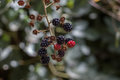 Red little clusters of berry fruits on tree under natural light