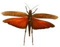 Red Locust Royalty Free Stock Photo