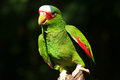 Red-lored Amazon parrot Royalty Free Stock Photo