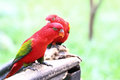 Red lory bird Royalty Free Stock Photo