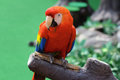 Red macaw Royalty Free Stock Photography
