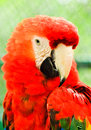 Red macaw close up Royalty Free Stock Photography