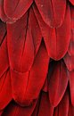 Red macaw feathers macro photo of Stock Photo