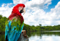 Red Macaw on the nature Royalty Free Stock Photo