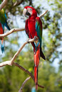Red Macaw perched on a tree Stock Photos