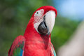 Red macaw perched on a tree branch Royalty Free Stock Photos