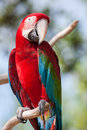 Red macaw perched on a tree branch Stock Images