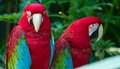 Red Macaws Royalty Free Stock Photo