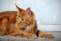 Red maine coon cat classic tabby Royalty Free Stock Photo
