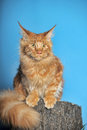 Red maine coon cat classic tabby Royalty Free Stock Photography