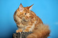 Red maine coon cat classic tabby Stock Photo