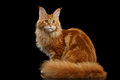 Red Maine Coon Cat Sitting with Furry Tail Isolated Black Royalty Free Stock Photo