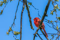 Red male cardinal sitting on tree branch with blue clear sky