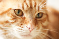 Red male cat face closeup of a Royalty Free Stock Photo