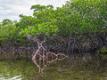 Red mangrove in shallow bay perched above the at no name key florida Royalty Free Stock Photos