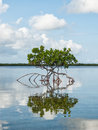 Red mangrove in shallow bay