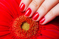 Red manicure and flower gerbera