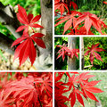 Red maple Collage Stock Photo