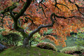 Red maple, Japanese garden Stock Photography