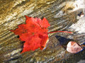 Red maple leaf Stock Image