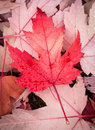 Red maple leaf in autumn Royalty Free Stock Image