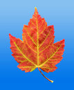 Red Maple Leaf in Autumn Fall Stock Photo