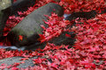 Red maple leaf during fall Royalty Free Stock Photo
