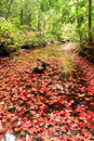 Red maple leaf during fall Stock Image
