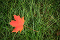 Red maple leaf fall on a grass background Royalty Free Stock Photo