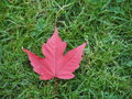 Red maple leaf a on green grasses Royalty Free Stock Photography