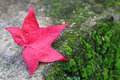 Red maple leaf on ground in autumn season Royalty Free Stock Images